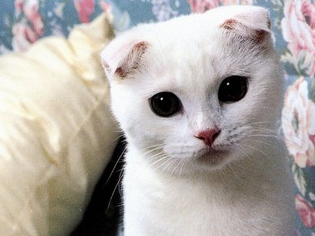 White Scottish Fold