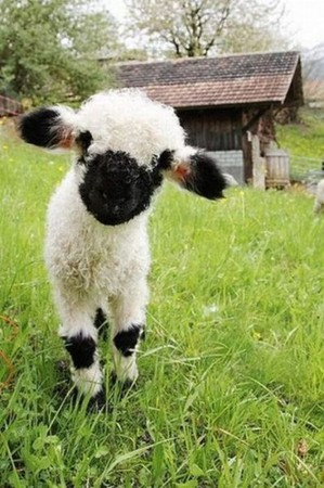Cute Little Sheep  - Adorable!!