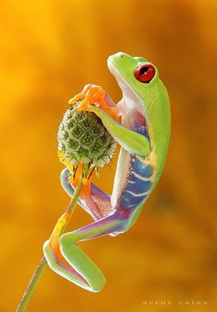 Red-eyed Tree Frog, photographed by Artur Celes